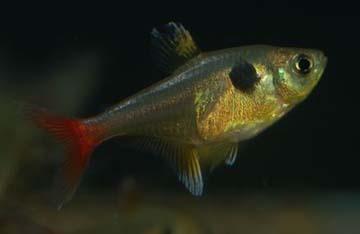 hyphessobrycon-roseus