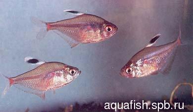 hyphessobrycon-socolofi