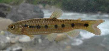 lebiasina-multimaculata
