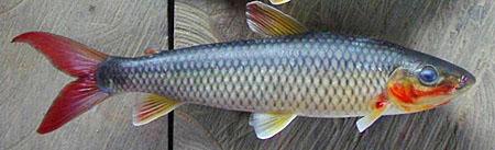 leporinus-brunneus