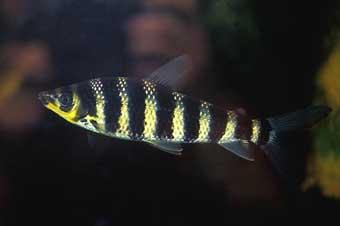 leporinus-fasciatus