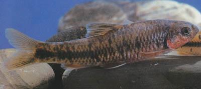 sarcocheilichthys-czerskii