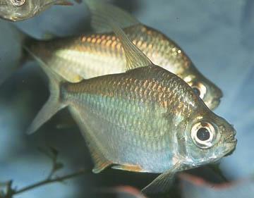 tetragonopterus-argenteus
