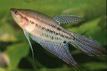 trichopsis-vittatus