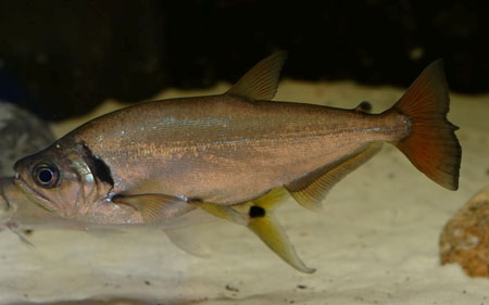 hydrolycus-tatauaia
