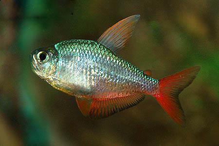 hyphessobrycon-ecuadorensis
