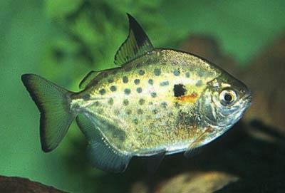 metynnis-lippincottianus