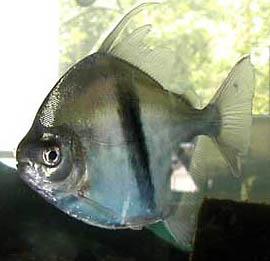 myleus-schomburgkii