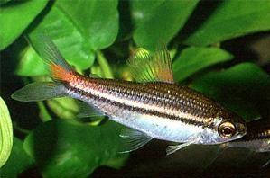 nannaethiops-unitaeniatus1