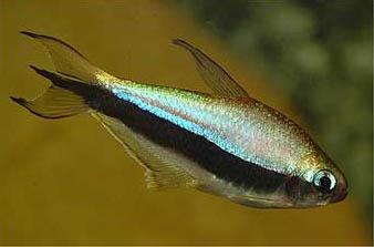 nematobrycon-palmeri
