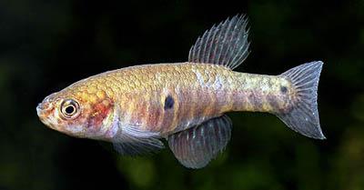 nematolebias-whitei1