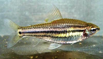 neolebias-trilineatus