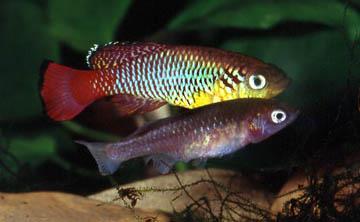nothobranchius-guentheri