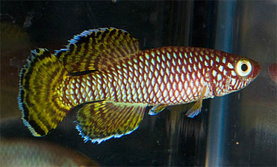 nothobranchius-korthausae