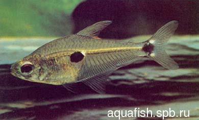 phenacogaster-tegatus