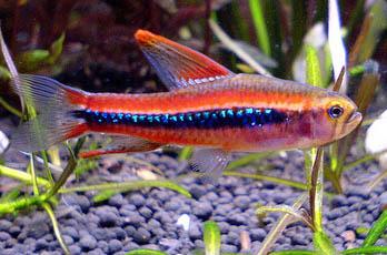 poecilocharax-weitzmani