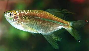 pseudocorynopoma-doriae