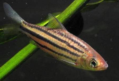 puntius-johorensis1
