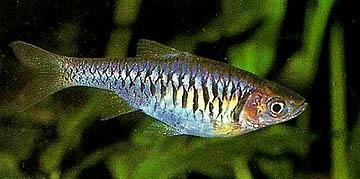 rasbora-reticulata