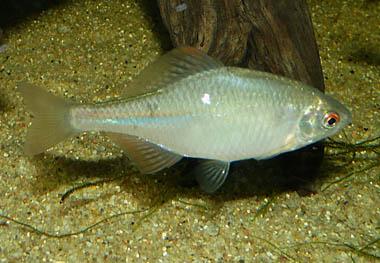 rhodeus-ocellatus