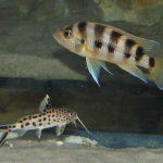 Neolamprologus sexfasciatus Gold i Synodontis multipunctatus