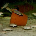 "Neolamprologus ventralis Chituta, Cyprichromis sp. ""Leptosoma Jumbo"" Cape Tembwe"
